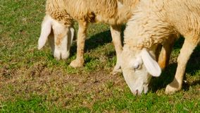 Pair of sheeps graze on green juicy meadow. Two sheep friends are walking on the grass in a fine day. White wool in the rays of sun illuminating pasture stock footage