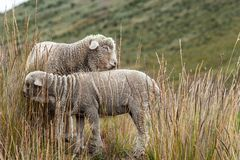 Two sheep graze on a mountain stock images