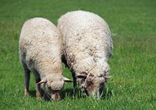 Two  sheep are grazed. On a spring meadow Stock Image