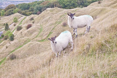Two sheep grazing Royalty Free Stock Photos