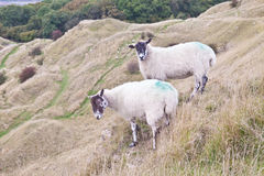 Two sheep grazing Stock Image
