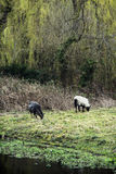 Two sheep grazing in the english countryside Royalty Free Stock Photography