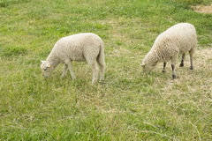 Two Sheep Grazing Stock Images
