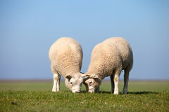 Two sheep grazing. On a the green grass Royalty Free Stock Images