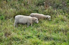 Two sheep Royalty Free Stock Images