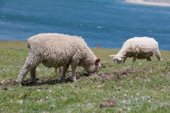 Two sheep grazing on a hillside. Maunt Mauganui. Tauranga. New Zealand stock photography