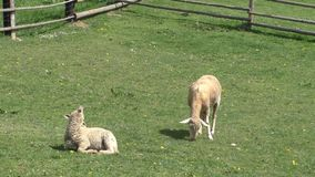 Two sheep grazing in the meadow stock footage