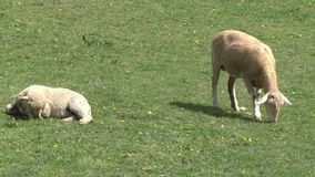 Two sheep grazing in the meadow stock video