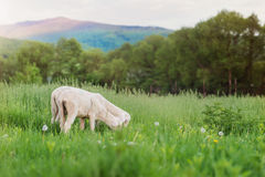 Two sheep grazing on meadow, green grass and trees Royalty Free Stock Photo