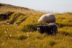 Black and white sheep chewing grass, wildlife Iceland Royalty Free Stock Image