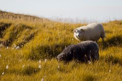 Black and white sheep chewing grass, wildlife Iceland Royalty Free Stock Photo