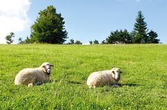 Two sheep on green grass Royalty Free Stock Photography