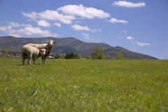 Two sheep in green grass Stock Photo