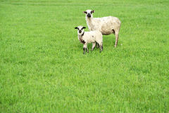 Two sheep on green grass Stock Photos