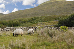 Two sheep in a green landscape. Two sheeps eating, in a green landscape at the west coast of Ireland Stock Photography