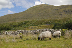 Two sheep in a green landscape. Two sheeps eating, in a green landscape at the west coast of Ireland Royalty Free Stock Image