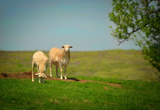 Two sheep on a hill Stock Photo