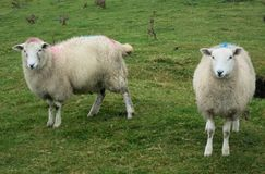 Two Sheep in Ireland. Two white sheep in a field of green grass near Erris Head in County Mayo, Ireland Stock Photography