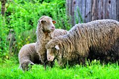 Two sheep with lamb Stock Photography
