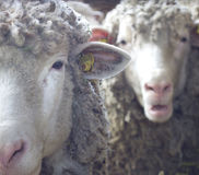 Two sheep looking at camera Stock Images