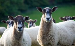 Two sheep looking towards camera. Two sheep amongst a flock look towards the camera. Focus on the right sheep Royalty Free Stock Image