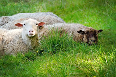 Two sheep lying on green grass Royalty Free Stock Image