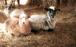 Two sheep lying on hay Stock Photo