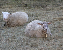 Two sheep lying on the lawn Royalty Free Stock Images