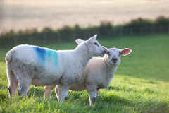 Two sheep on a meadow. Two sheep standing on a the green grass Royalty Free Stock Photo