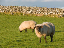 Two sheep in the meadow with stonewall Stock Photo