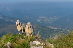 Two sheep in the mountains Stock Image