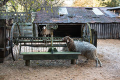 Two sheep and old harrow on country yard Stock Images