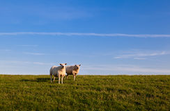 Two sheep over sky Stock Photo