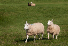 Two Sheep Ovis aries in Foreground - Two in Background. At sheep dog herding trials stock photo