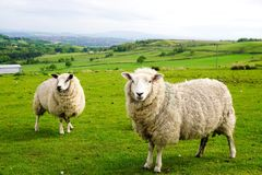 Sheep on Hillside. Ovis aries or sheep standing alertly and watching on a grass hillside in the west pennines Lancashire Stock Images