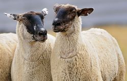 Two Sheep (Ovus aries) Stock Photo