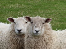 Two Sheep. A pair of sheep with green grass background Royalty Free Stock Photos