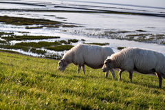 Two sheep on pasture Royalty Free Stock Photo