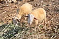 Two sheep in the pasture horizontal. Two sheep in the pasture at sunset time horizontal Royalty Free Stock Images