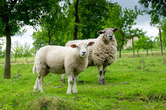 Two sheep on pasture Stock Image