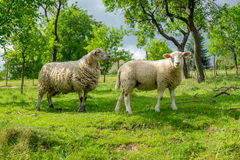 Two sheep on pasture Stock Images