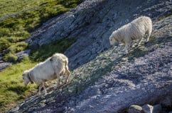 Two sheep Royalty Free Stock Photos