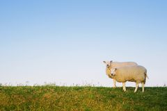 Two sheep posing. Two sheep standing Stock Images