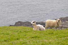 Two sheep ram on the blue sea and grass background Stock Photo