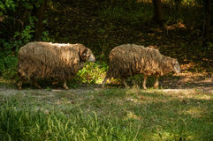 Two sheep. Ram goes after sheep Stock Photos