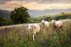Two sheep and ram walk through grassy meadow. Mysterious countryside scenery with oak tree in the distance. far away mountains in morning haze under the Stock Photography