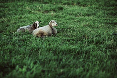 Two sheep resting on lawn Royalty Free Stock Photography