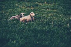 Two sheep resting on lawn Stock Photos