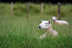 Two sheep resting in long grass. Two sheep laying in a long-grass paddock Stock Images