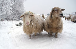 Two sheep in the snow. Winter landscape with sheep and snow Royalty Free Stock Images